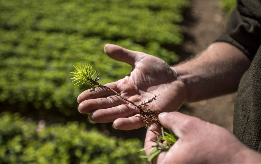 man-showing-a-tree-seedling-at-a-beech-nursery-in-maramures-romania